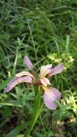 wild iris. Zabaldika, Spain