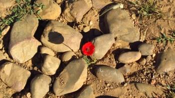 Poppy. Camino de Santiago, Spain