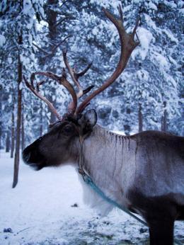2013 02 12 a P2123015 Reindeer