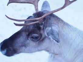 2013 02 12 P2123175 Reindeer