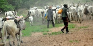 son of herdsman