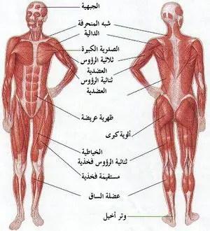 فوائده عضلات الجسم