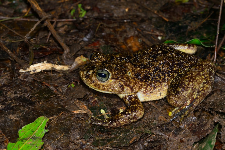 A very large frog from Madagascar