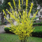 Forsythia Bush Photo: New World Encyclopedia