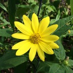 Prairie Sunflower aka Maximilian Sunflower