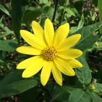 Prairie Sunflower aka Maximilian Sunflower