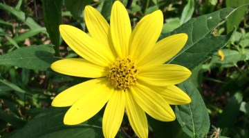 10 Reasons to Plant Prairie Sunflowers, Easiest Flowers Ever!
