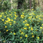 Naturalized Prairie Sunflowers