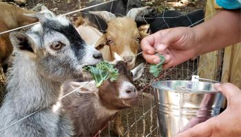 Petting Zoo Resized