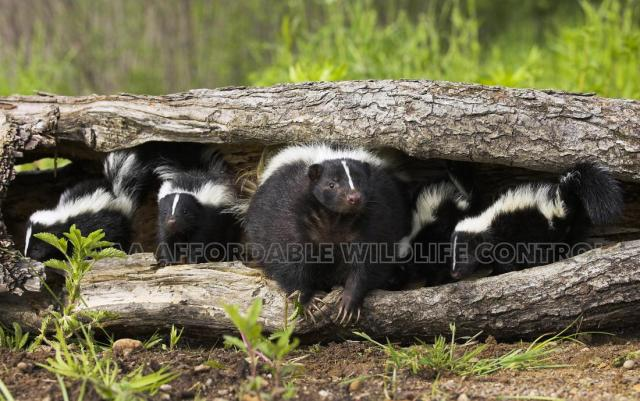 Skunk Removal Toronto Affordable Wildlife Control