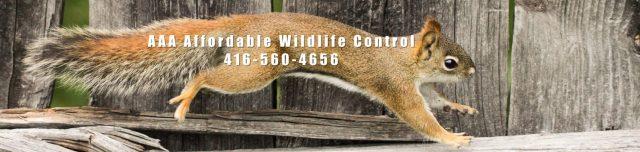 Squirrel Removal Toronto Affordable Wildlife Control