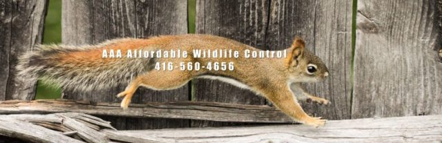 Squirrel Removal Toronto, Squirrel Control, Squirrel Removal Cost,  What is the average cost for squirrel removal?