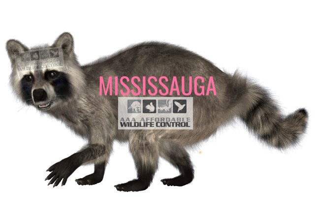 Wildlife Removal Mississauga - Squirrel, raccoon, bird removal Mississauga