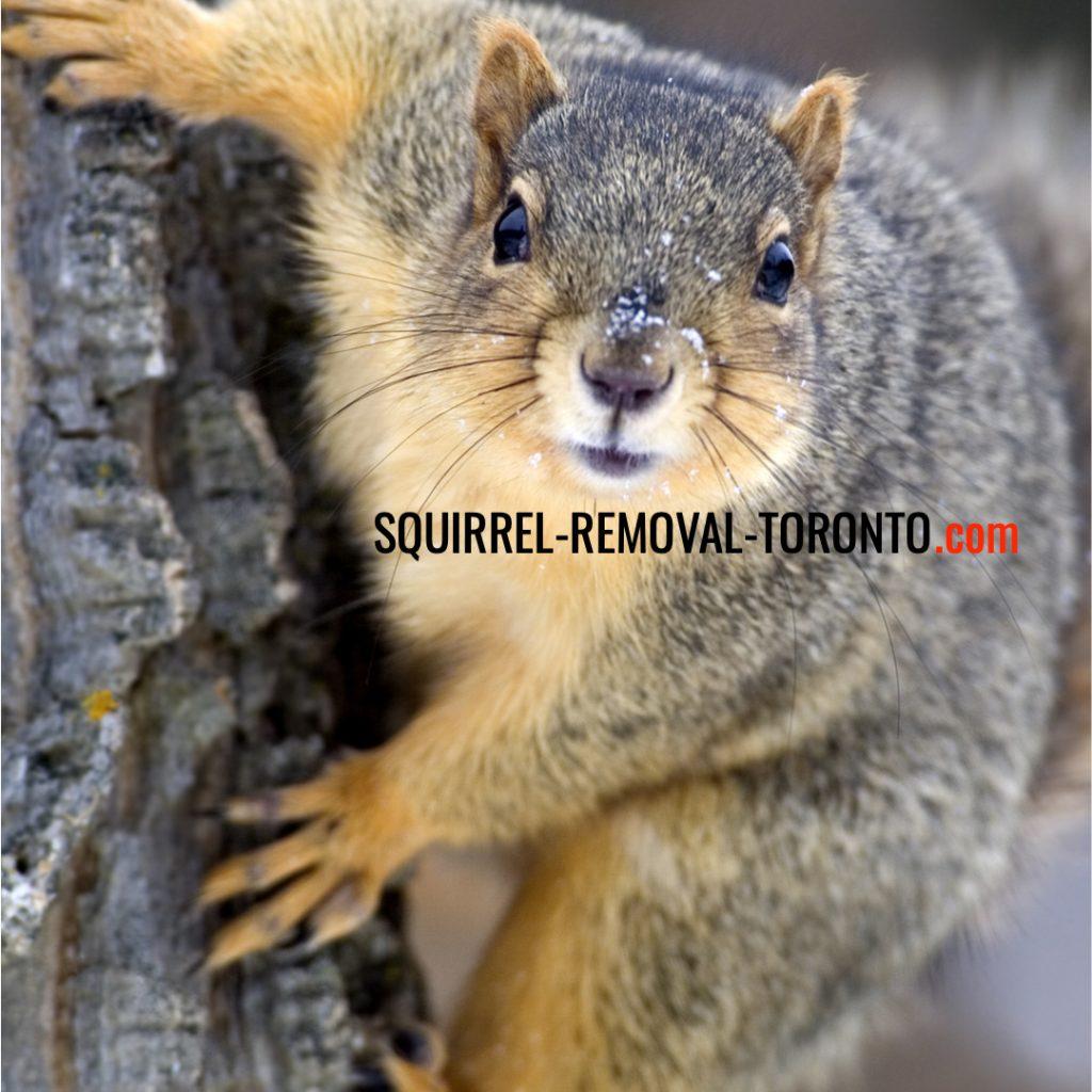 Squirrel Removal Toronto, Squirrel Control Toronto
