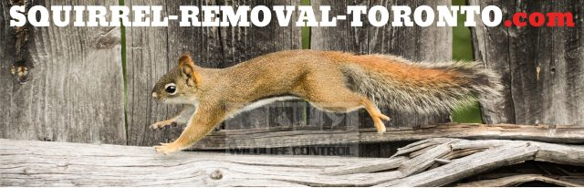 Squirrel Removal Toronto, squirrel removal near me, squirrel removal mississauga