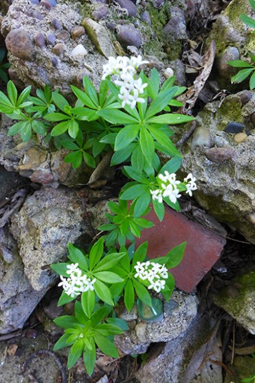 Sweet Woodruff blooming