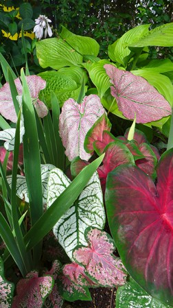 caladium and hosta