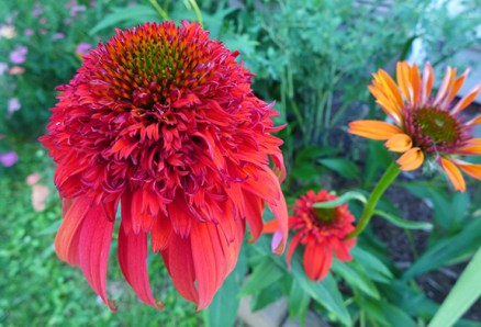 "coneflower ""Hot Papaya"""