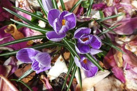 crocus and magnolia petals