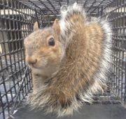 Squirrel Trapping Services