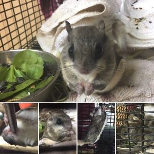 flying squirrels removed from attic