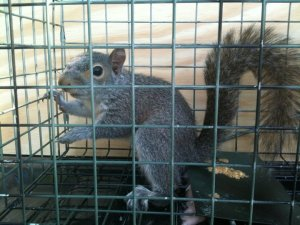 squirrel trapping experts