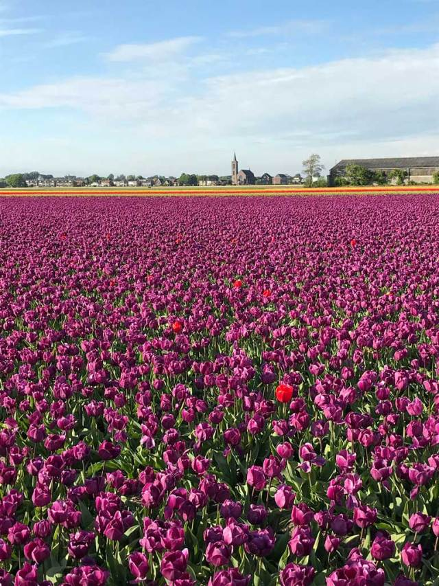 Le campagne attorno a Lisse in Olanda sono coperte da meravigliose distese di tulipani.