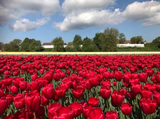 Il periodo migliore per vedere i tulipani in Olanda è dal 20 aprile al 7 maggio