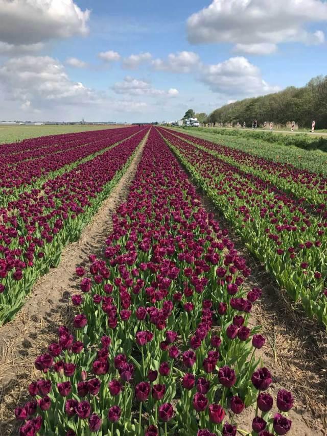 La fioritura dei tulipani in Olanda richiama ogni primavera milioni di turisti