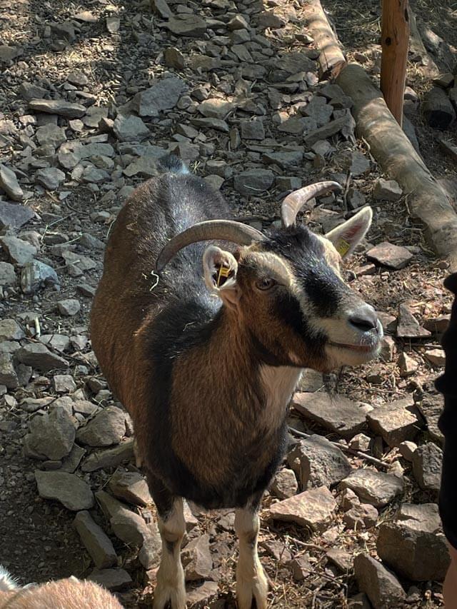 Nei giardini Trauttmansdorff a Merano i bambini possono vedere capre e altri animali