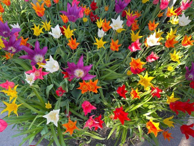 Dove vedere i tulipani in Italia? Nei giardini Trauttmansdorff in Sudtirol