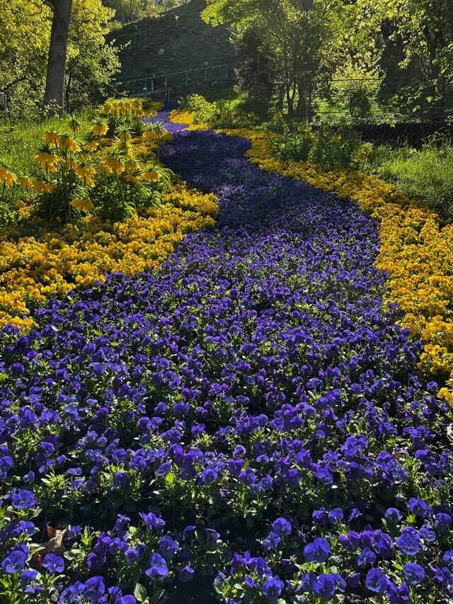Nei giardini di Sissi a Merano vedi una striscia di violette gialle e viola