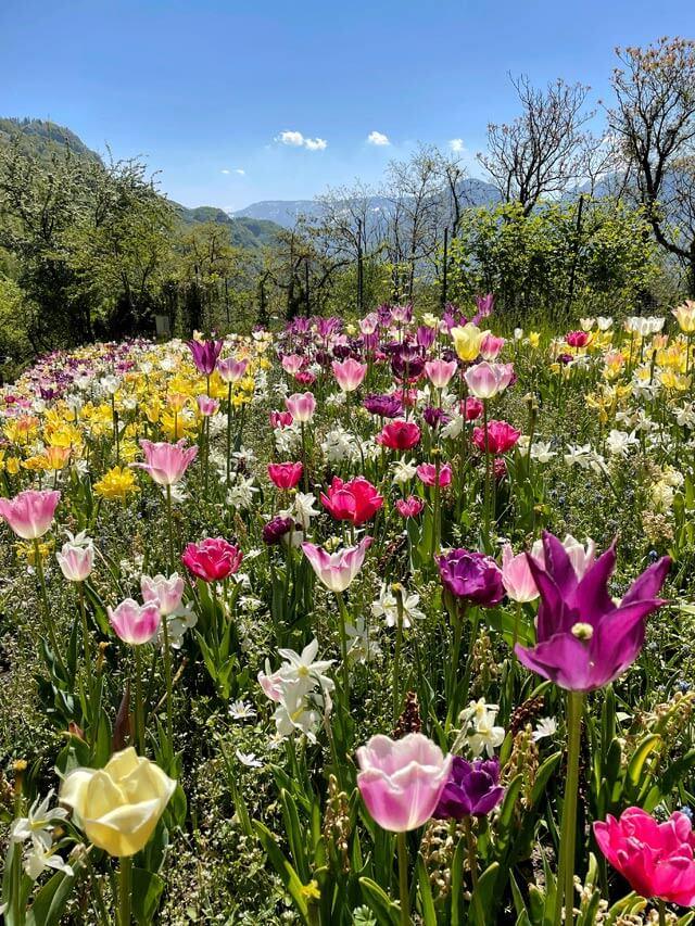 I tulipani in primavera li trovi nei Giardini Trauttmansdorff