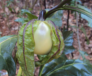 Antroewa plant