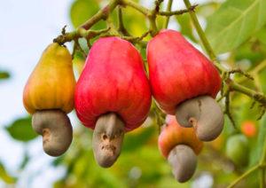 cashew01