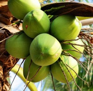 kokosnoot01