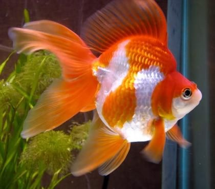 Аквариумные Полосатые Рыбки Названия И Фото