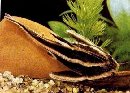 Аквариумные Рыбки Сомики Виды Фото И Описание - relizuaclothes