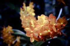 National Orchid Garden - sree is travelling (20)