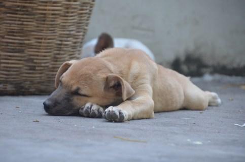 Puppy nap at Wat Phnom, Phnom Penh Cambodia