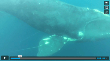 Whale Rescued By Surfer