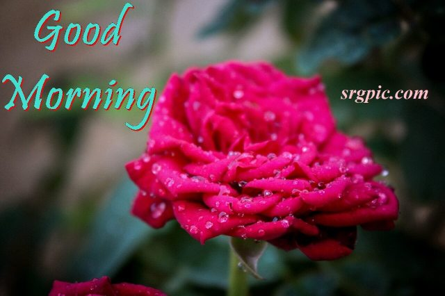 good-morning-wishes-with-red-rose