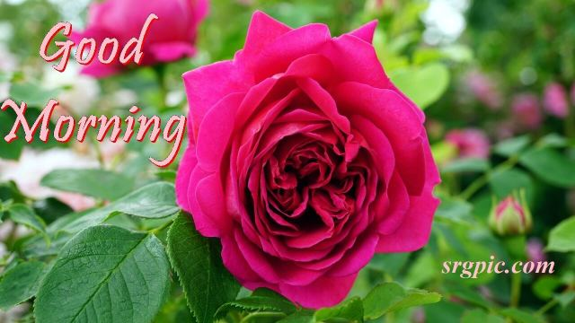 good-morning-with-rose1