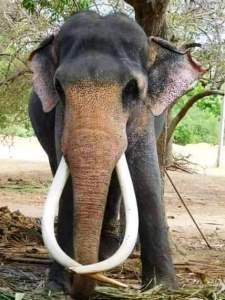 sri lanka elephants 10