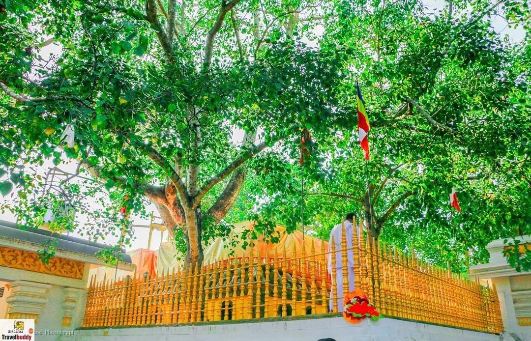 Jaya Sri Maha Bodhi Tree