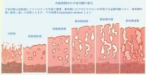 子宮内膜の変化-300x154