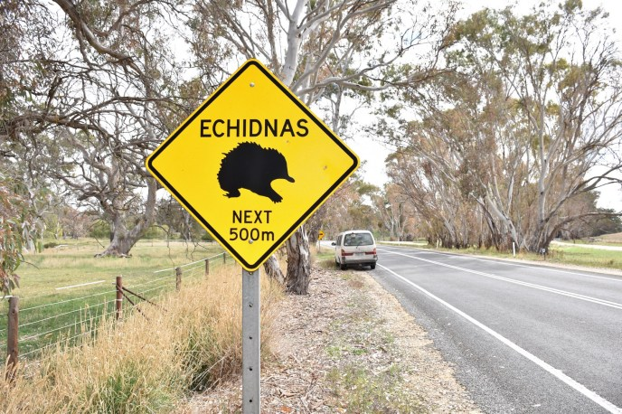 Echnida Australie