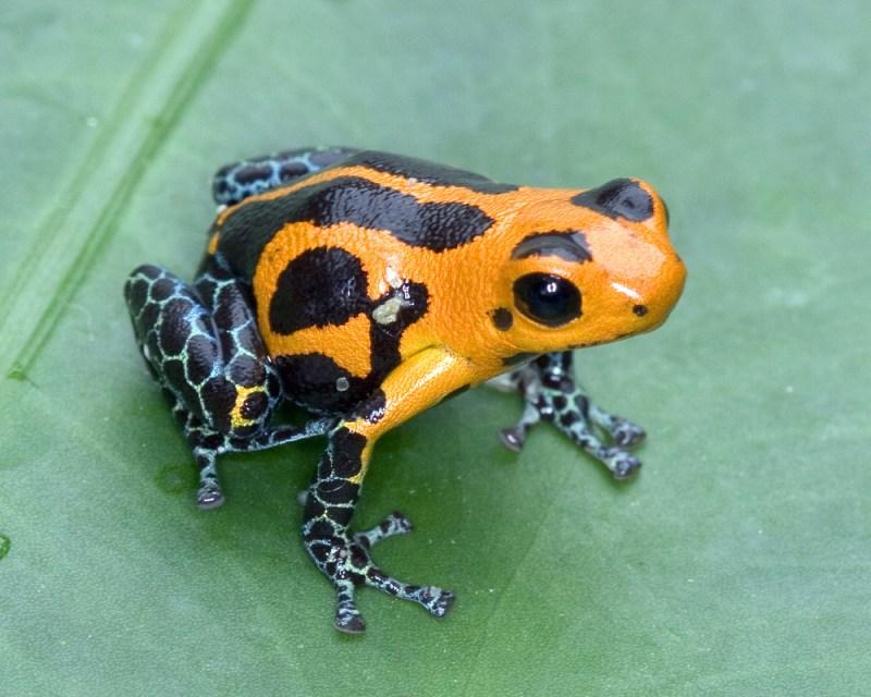Ranitomeya amazonica, Peru. Photo by Brad Wilson
