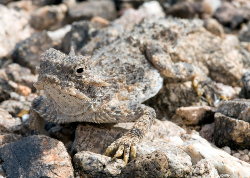 Phrynosoma platyrhinos, Desert Horned Lizard, Maricopa County, Arizona. Photo by Brad Wilson