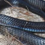 26 Indigo Snakes Raised at Zoo Atlanta Released in Alabama